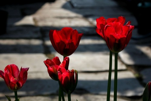 Tulipes Red Spring Green5