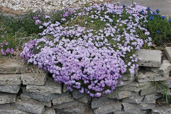 Phlox subulata 'Emerald Cushion Blue