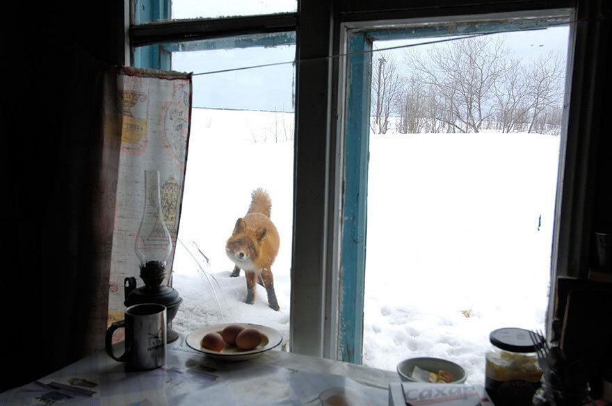 renard-neige
