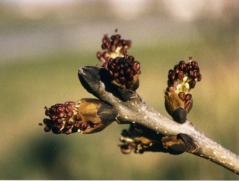 frene-fleurs-copie-1.jpg