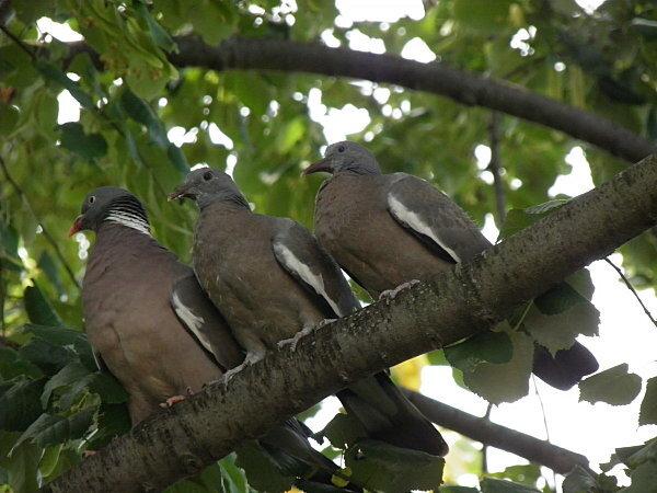Pigeon Ramier et ses petits