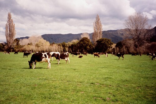 Des vaches, en couleurs