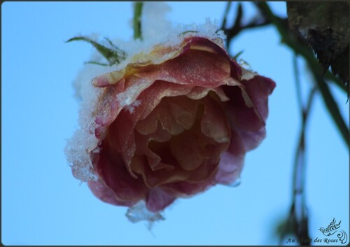 Les 'Roses des Neiges'