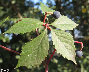 Parthenocissus inserta - Parthenocissus quinquefolia  -  vigne vierge