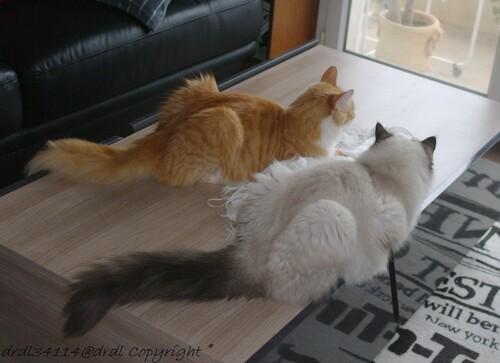 Ailurophobe phobie du chat