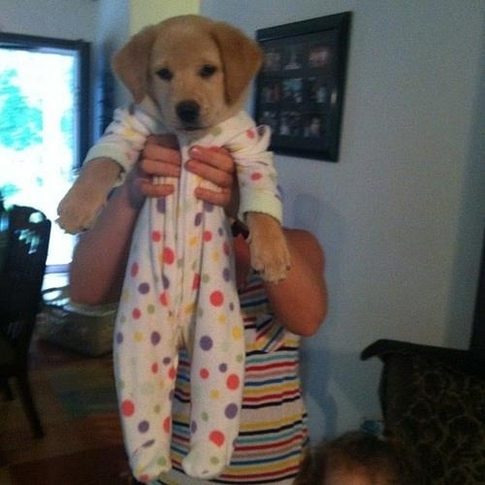 Golden Retriever avec un pyjama