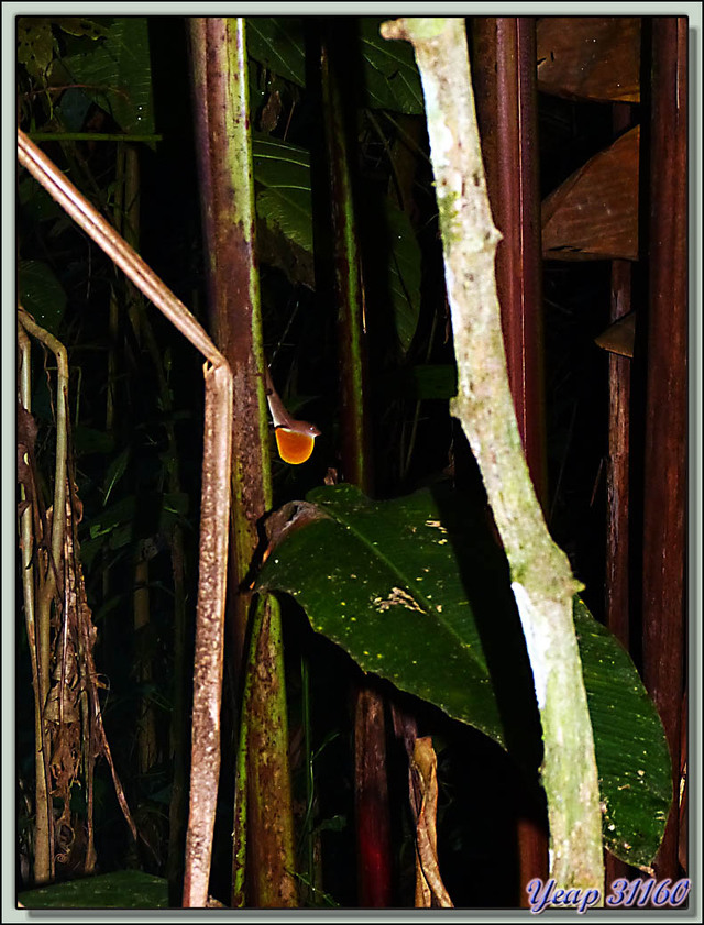 Blog de images-du-pays-des-ours : Images du Pays des Ours (et d'ailleurs ...), Lézard anole brun (Anolis sagrei) - La Palma - Puerto Jiménez - Costa Rica