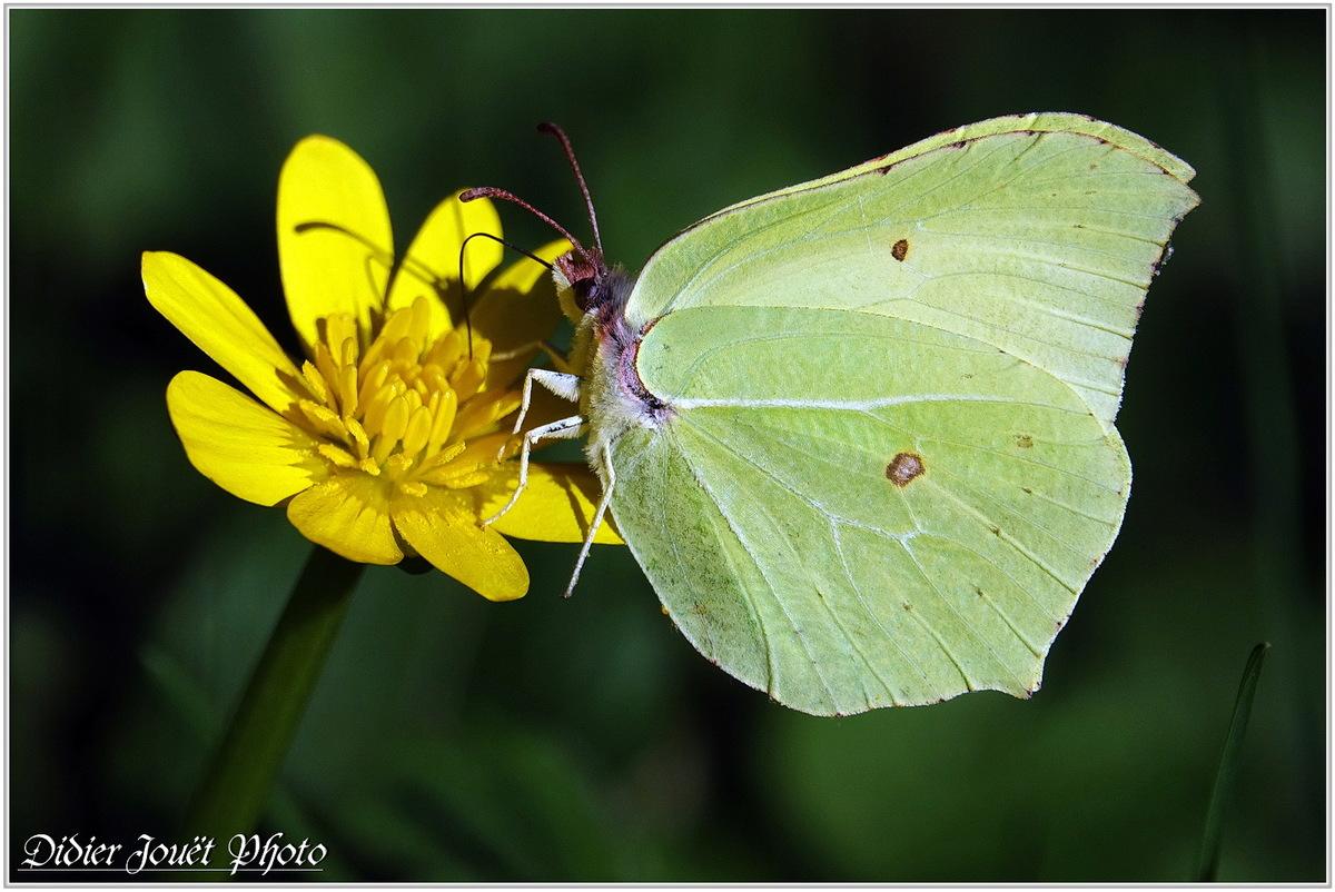 Citron (5) - Gonepteryx rhamni