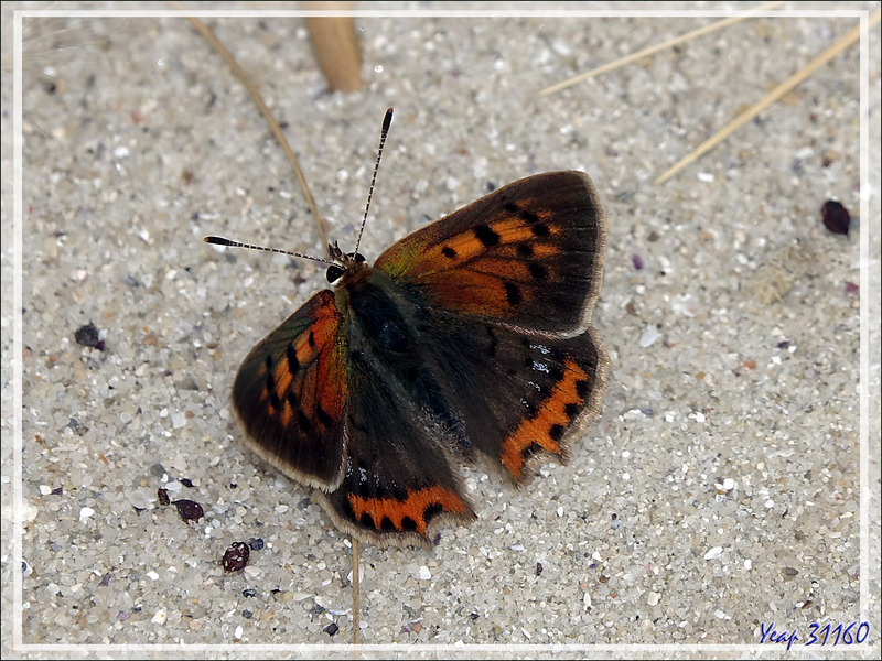Papillon Cuivré commun (Lycaena phlaeas) - La Couarde-sur-Mer - 17