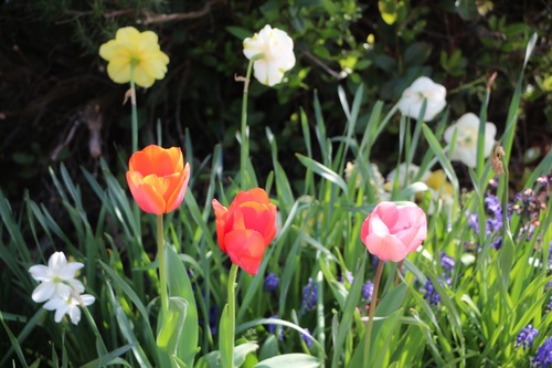 Fin des tulipes