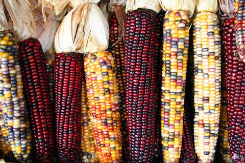 Mise en garde contre le maïs http://chinchillasdeminuit.eklablog.com/