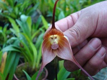 orchid face de singe1