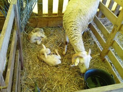 Le bel agnelage!!!