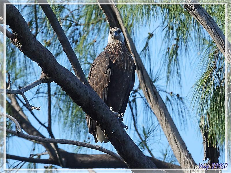 Pygargue de Madagascar, Ankoay, Madagascan Fish Eagle (Haliaeetus vociferoides) : et enfin un troisième oiseau, la femelle ? - Nosy Tsarabanjina - Archipel Mitsio - Madagascar