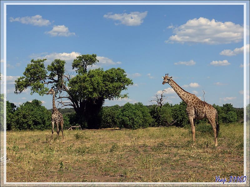 Girafe d'Angola, Angolan giraffe (Giraffa camelopardalis angolensis) - Safari terrestre - Parc National de Chobe - Botswana