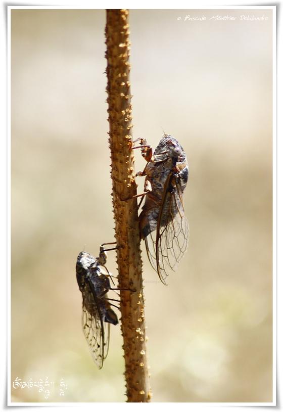 Cigale plébeienne  - Lyriste plebejus