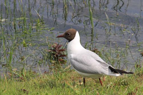 Mouette Rieuse (Black-headed Gull)