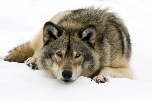 Le loup en danger