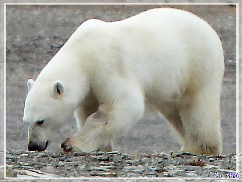 Quelques gros plans de l'ours blanc avant qu'il ne s'éloigne avec son repas dans la gueule (Polar bear) - Creswell Bay - Somerset Island - Nunavut - Canada