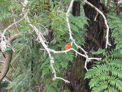 Le petit cardinal