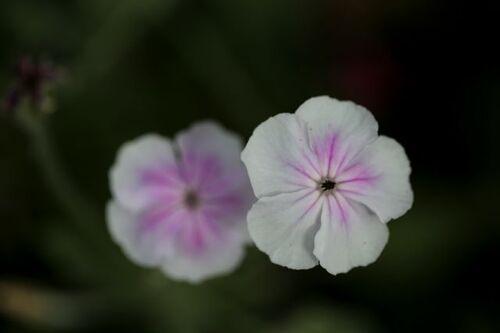 Des compagnes pour mes roses : Lychnis coronaria