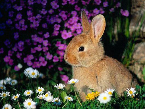 Particularités de la mue du lapin