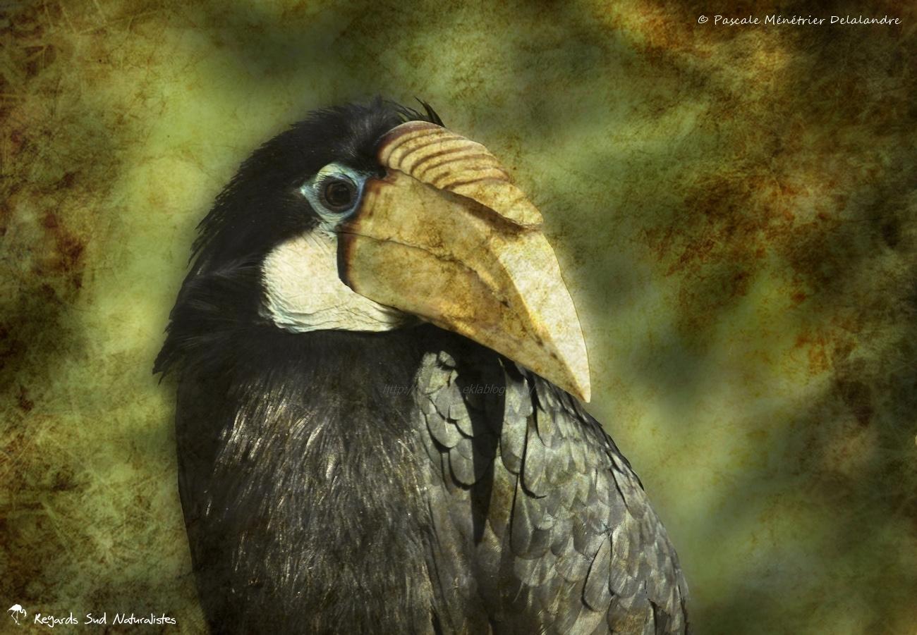 Calao papou - Rhyticeros plicatus - Blyth's Hornbill