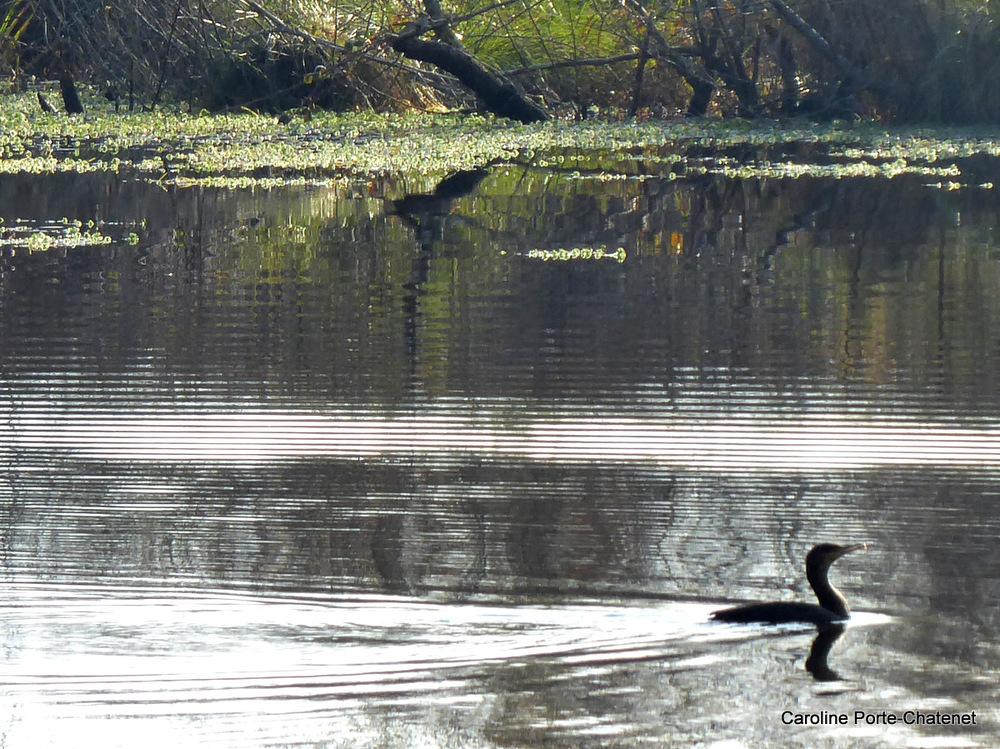 *Fin d'automne,mouettes, hérons, cormorans