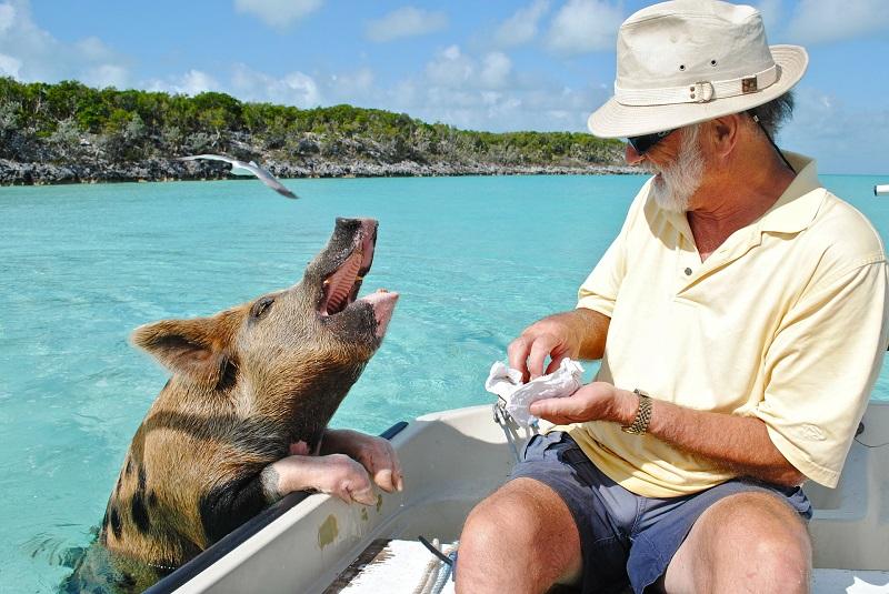 Nager aux Bahamas avec ... des cochons