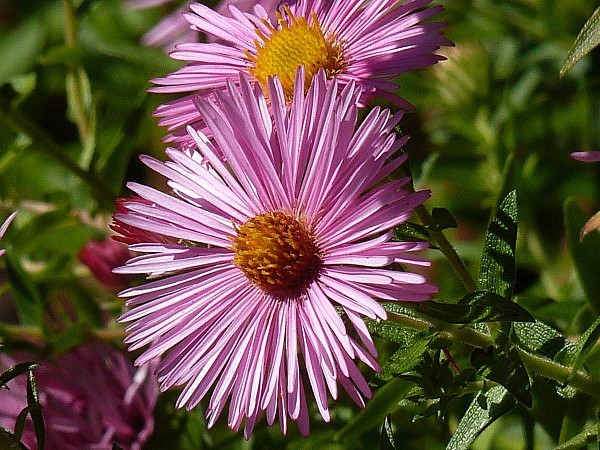 Aster 20-09-008