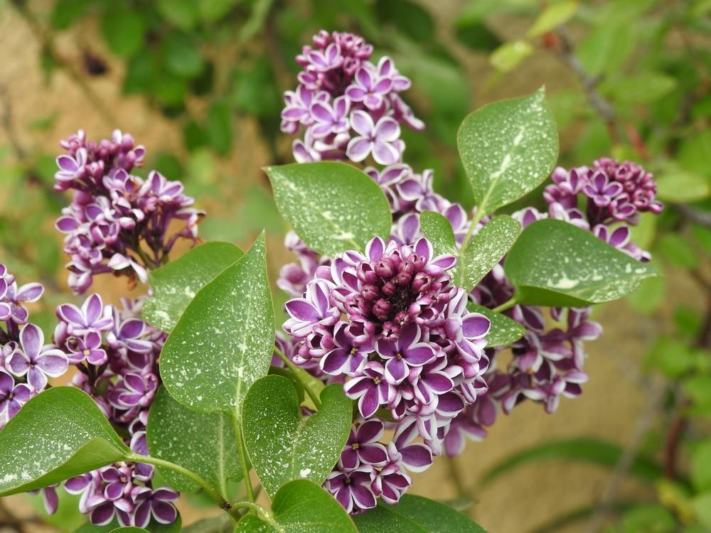 Quelques fleurs dans mon jardin, en avril...