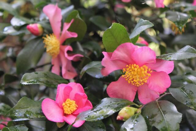Plantation pink (camellia sasanqua)