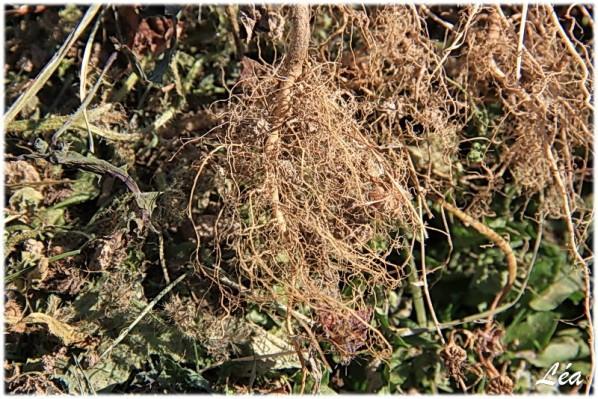 communaute-Tataray-4581-racines.jpg