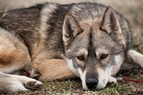Julius Dolina Volka husky siberien