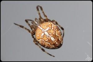 Araignées : ARANEIDAE