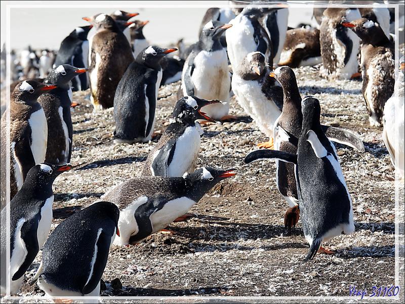 Manchots papous : autant ils sont mignons en dehors de la manchotière, autant ils sont chamailleurs en groupe - The Neck (Le Cou) - Saunders Island - Falkland (Malvinas, Malouines) - Grande-Bretagne