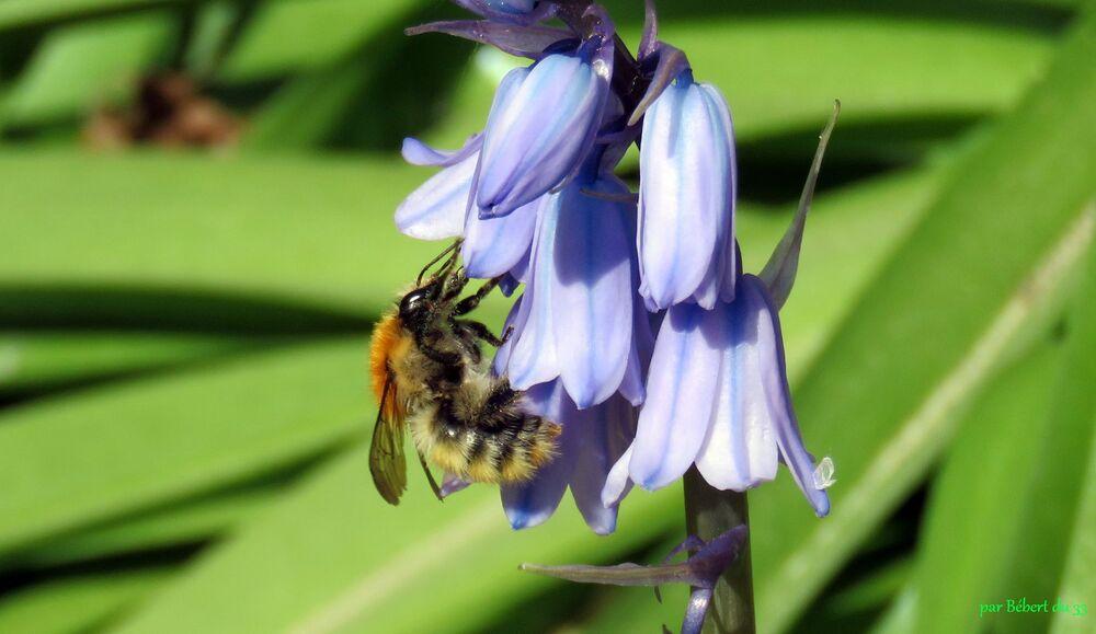 une abeille sur mes fleurs