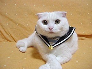 scottish fold 9
