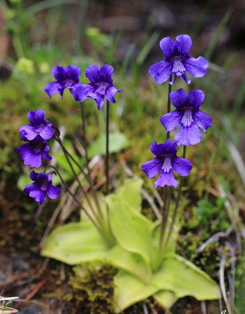 Vertus médicinales des plantes sauvages : Grassette
