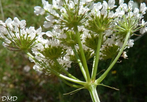 Oenanthe pimpinelloides  -  oenanthe faux-boucage