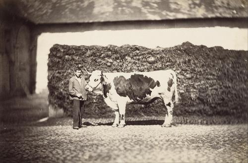 13 - Adolphe Braun et les vaches
