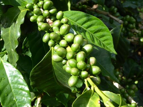 8ème jour (2) Nebaj, Coban,Plantation de café, Guatemala + pub Mucoviscidose