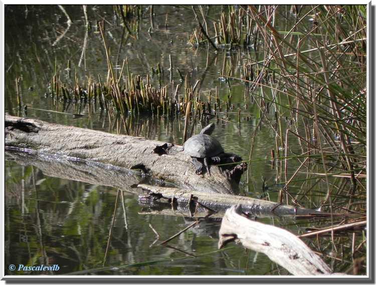 Parc ornithologique du Teich - cistude d'Europe