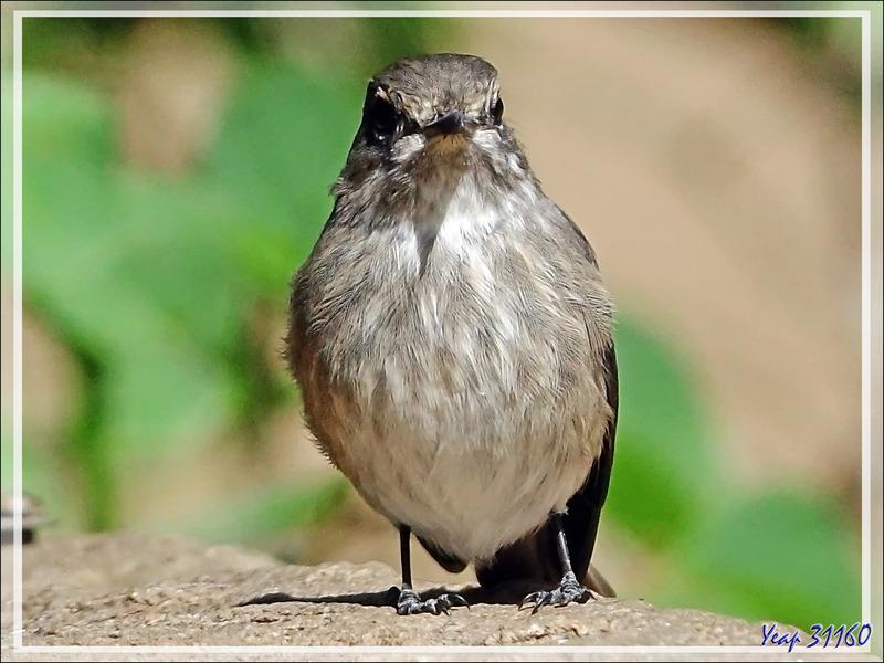 Un petit oiseau-baigneur indéterminé - Jardin Kirstenbosch - Cape Town - Afrique du Sud