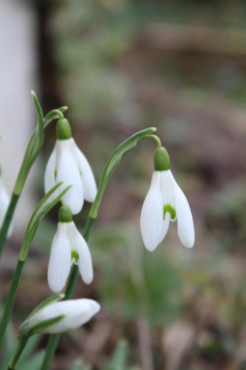 fleurs de saison : les perce-neige