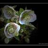 Hellébore Fleur De L'hiver.jpg