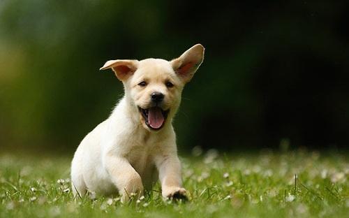 Goldens retrievers / Labradors
