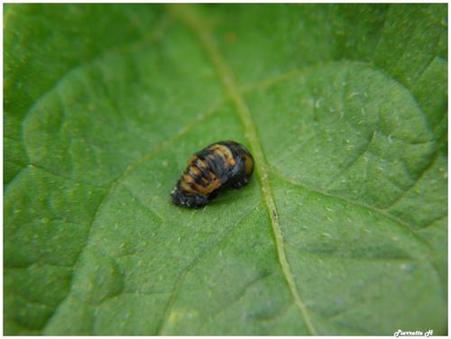 De la larve à la nymphe de la coccinelle