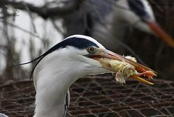 Le nourrissage des Hérons  au Parc Ornithologique du Pont de Gau
