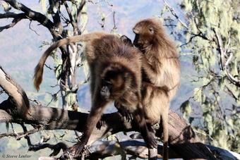 Bébé géladas, corbeaux, loup d'Abyssinie, caméléon et combat de taureaux